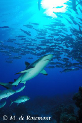 Grey reef shark and a school of jack fishes. D50/12-24mm ... by Moeava De Rosemont