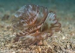 Tube worm. Lembeh straits. D200, 60mm. by Derek Haslam