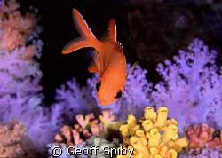squirrelfish by Geoff Spiby
