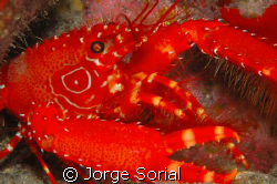 Sea crab from the Canary Islands, Spain. by Jorge Sorial