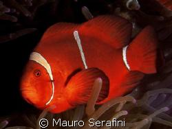 Red clown fish by Mauro Serafini