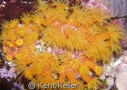Orange Cup Coral feeding at night by Kent Keller