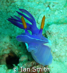 here's lookin at you kid!  Nudi, caught with head up fo... by Ian Smith