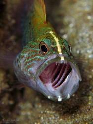 Juvenile Graysby (Cephalopholis cruentatus) having a yawn... by Brian Mayes