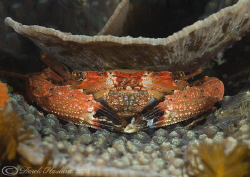 Reef crab. Night dive. Lembeh Straits. by Derek Haslam