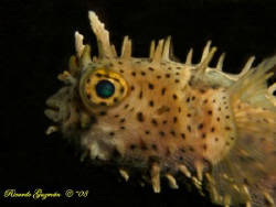 Night dive at Escambrón.  This little guy came right at us. by Ricardo Guzman