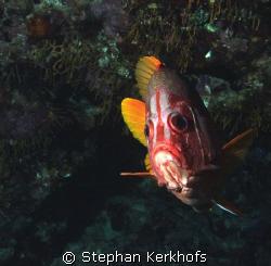Longjawed squirrelfish (Sargocentron spiniferum) taken at... by Stephan Kerkhofs