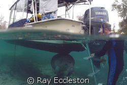 Manatee playing hide and seek. Look under the boat.  Came... by Ray Eccleston