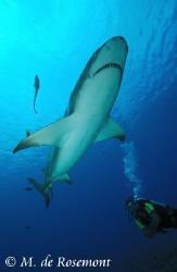Nice lemon shark and Diver. D50/12-24mm (Borabora Island) by Moeava De Rosemont