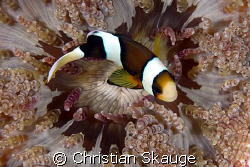 A really cool-looking anemone housing a single clownfish.... by Christian Skauge