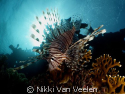Lionfish taken at Nabq Park with E300, 14mm lens and 0.25... by Nikki Van Veelen
