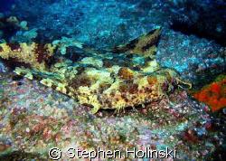 Wobbegong Shark, just relaxing.  South West Rocks, Austra... by Stephen Holinski