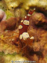 Nice Squat Anemone Shrimp, Crash Boat, Aguadilla, P.R. by Abimael Márquez