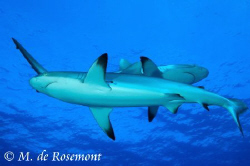 Cross roads! Two black tip sharks. D50/12-24mm (Borabora) by Moeava De Rosemont