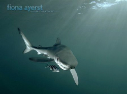 a small blue shark and its constant companion pilot fish-... by Fiona Ayerst