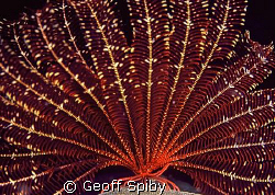 a beautiful feather star on a night dive by Geoff Spiby