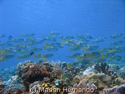 school of fish over a coral garden, taken in Fukui - Buna... by Marian Hernando