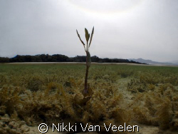 Lonely mangrove shoot far away from the rest, taken in Na... by Nikki Van Veelen