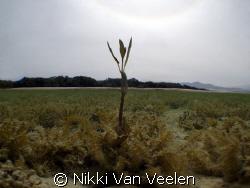 Lonely mangrove shoot far away from the rest, taken in Na... by Nikki Van Veelen