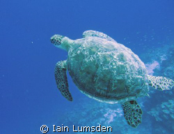 Green Turtle glides on by by Iain Lumsden