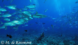 Grey reef shark, school of jack fishes & my buddy. D50/12... by Moeava De Rosemont