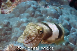 Cuttle fish by Michael Wicks