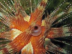 Urchins aren't always nasty little critters with sharp sp... by Brian Mayes