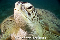 Green turtle (chelonia mydas) taken in Na'ama bay. by Stephan Kerkhofs