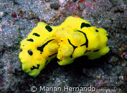 Nudibranch: Notodoris Minor, found in Lembeh Strait, Nort... by Marian Hernando