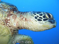 Sea turtle that tried to give me an Eskimo kiss at the Se... by Nich Zies
