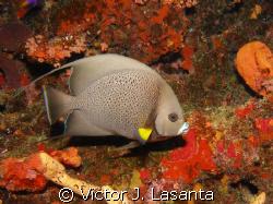 gray angel fish at los arcos dive site in parguera area!! by Victor J. Lasanta