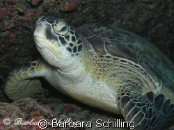 Green Turtle having a rest. Taken with with a Canon EOS 2... by Barbara Schilling