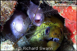 Cosy !  Moray Eels will do anything to avoid the single s... by Richard Swann