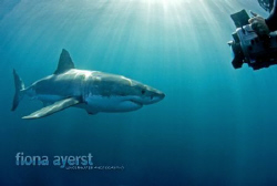 swimming out of a cage with 3 great whites in the water i... by Fiona Ayerst
