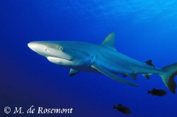 Close shot of a juvenile grey reef shark. D50/12-24mm (Bo... by Moeava De Rosemont