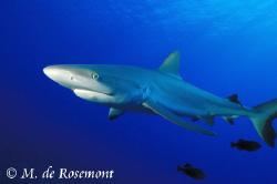 Close shot of a juvenile grey reef shark. D50/12-24mm (Bo... by Moeava De Rosemont