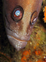 A spooky Greater Soapfish (Rypticus saponaceus). Canon G7... by Brian Mayes