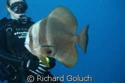 Batfish checking on diver during safty stop. by Richard Goluch
