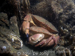 Thes nordsea crabs are in love by John De Jong