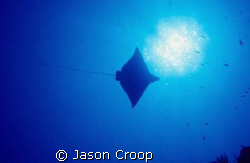 Spotted eagle ray swimming overhead at North Pole Cave, S... by Jason Croop