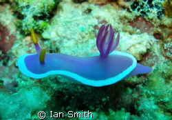 Nudi taking a stroll....if that's what nudi's do!? by Ian Smith