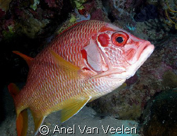 Longjaw squirrelfish taken with Olympus SP350. by Anel Van Veelen