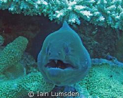 Conger eel says hi! by Iain Lumsden