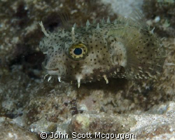 Spotted Burrfish off of the Reefhouse Resort's pier, on R... by John Scott Mcgougan