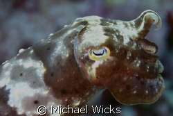 cuttlefish by Michael Wicks