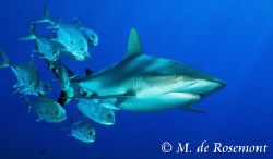 Grey reef shark & Jack fishes. D50/12-24mm (Borabora).