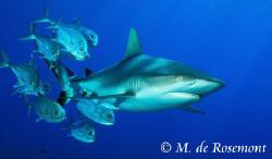 Grey reef shark & Jack fishes. D50/12-24mm (Borabora).  by Moeava De Rosemont