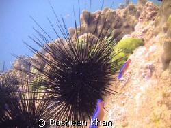 Sea Urchins Karachi coast.Pakistan by Rosheen Khan