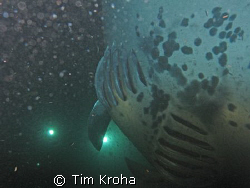 Manta Ray (10-12' wingspan) (Kona, Hawai'i) by Tim Kroha