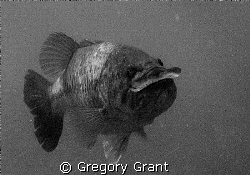 """""""bitten off more than it could chew""""this bass had another... by Gregory Grant"""